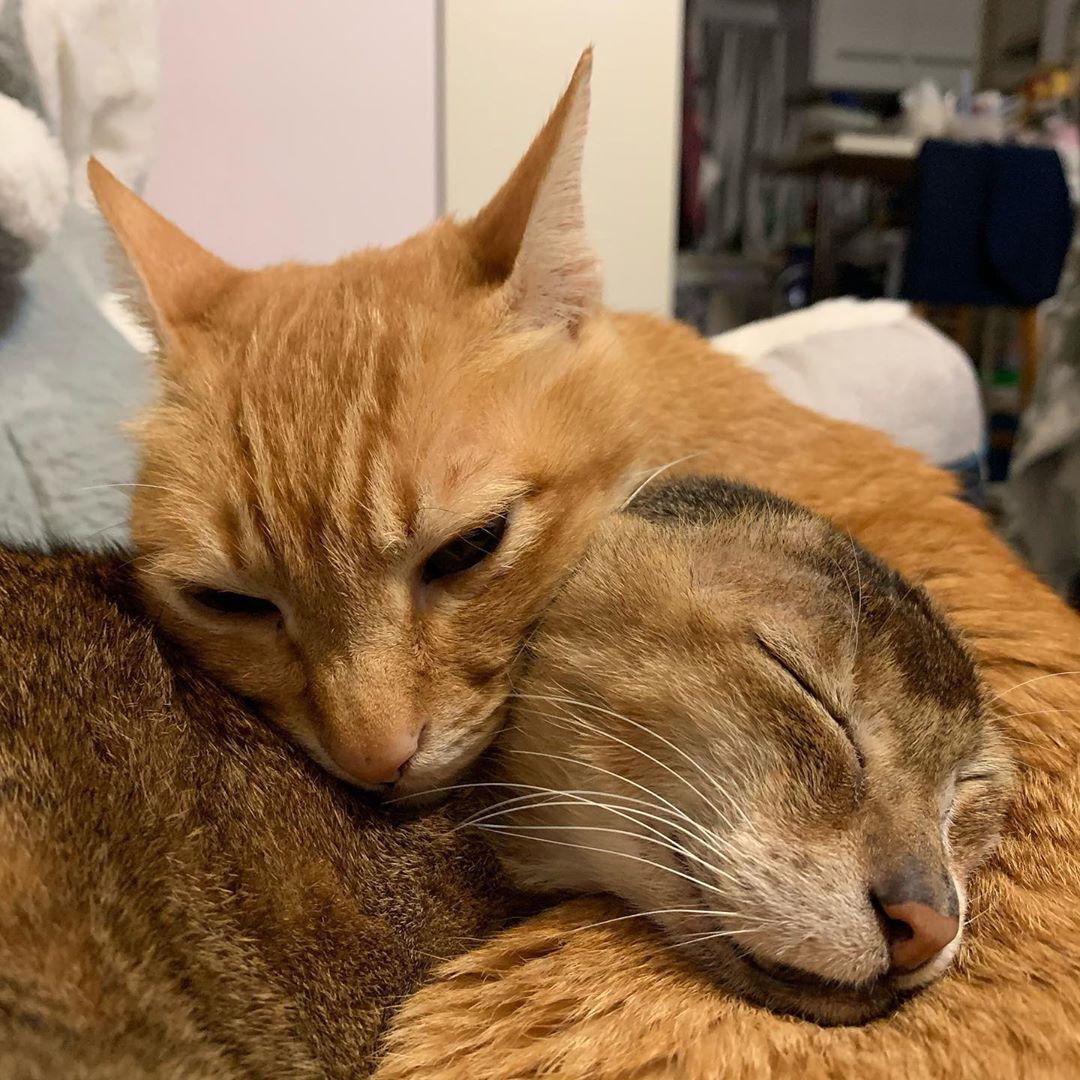 gatito sin orejas y su hermano se cuidan