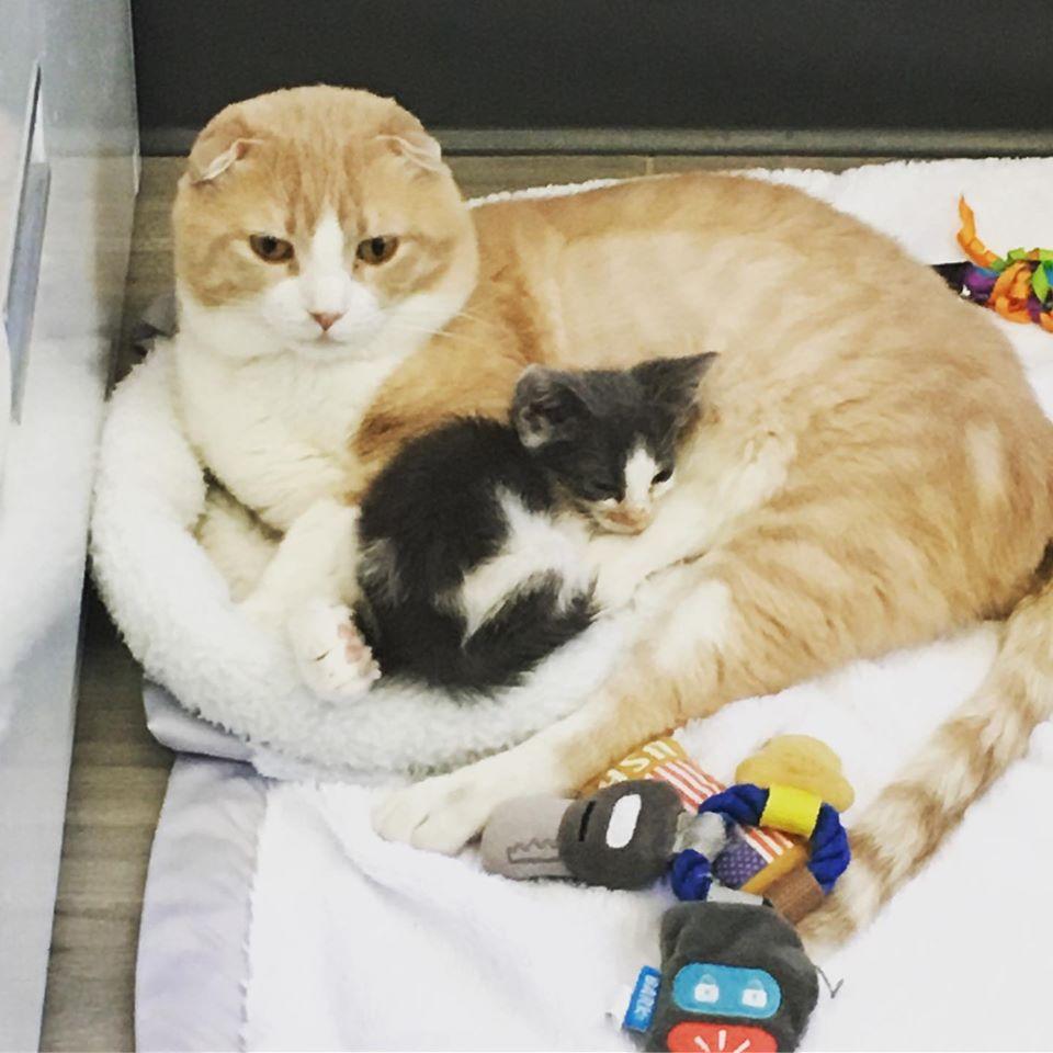 gato cuida gatito bebé