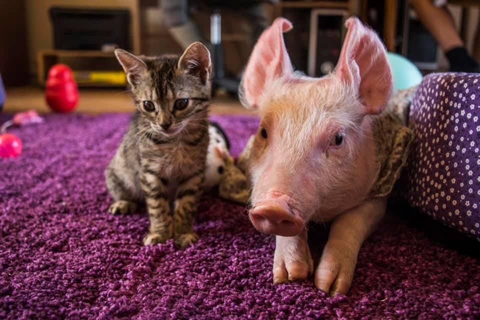gato y cerdito rescatados son amigos