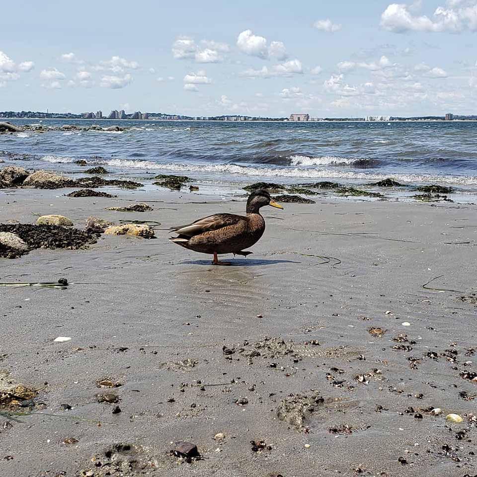 pato en la playa