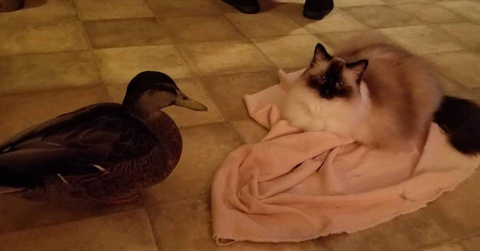 pato junto al gato