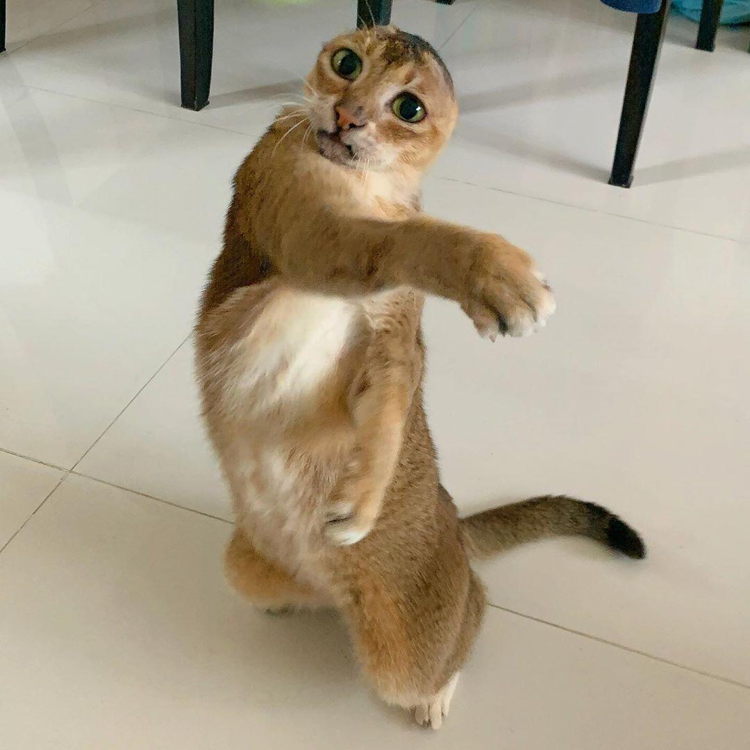 tierno gato sin orejas jugando