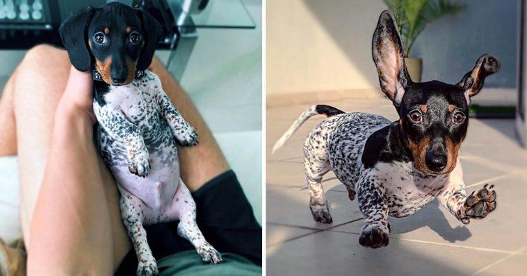 Cachorro salchicha nace con su cuerpo de color blanco y negro como una vaca