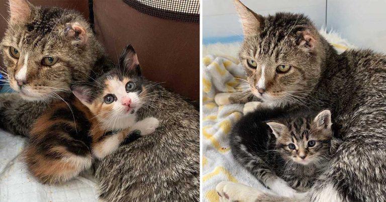 Este gato sin hogar adopta a gatitos y comienza a cuidarlos