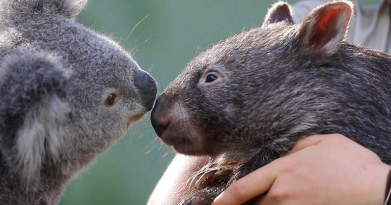 Koala y Wombat se convirtieron en mejores amigos durante el aislamiento