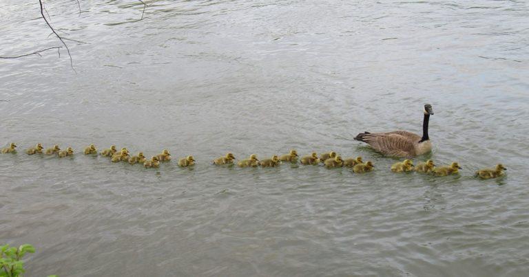 Madre ganso cuida de 47 bebés y los mantiene a salvo