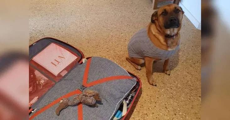 Perrita 'empaca' su juguete favorito para que su niñero tenga que llevarla con él
