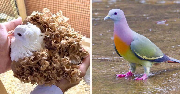 Conoce a los tipos de palomas más hermosas del mundo