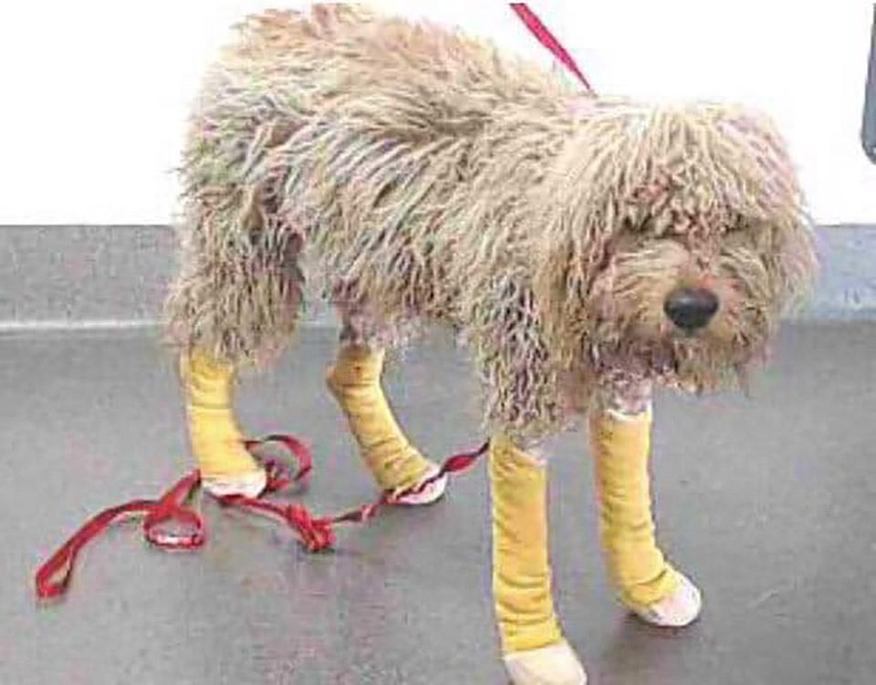 perro herido