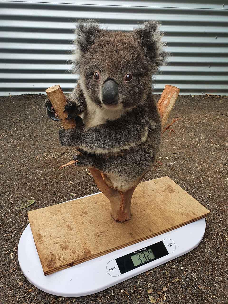 Bebé koala