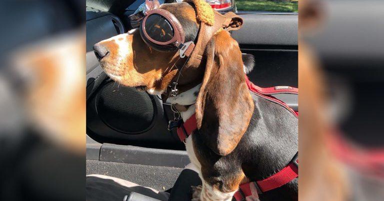 Perrito rescatado obtiene gafas especiales para poder subir al descapotable de papá