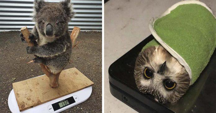 Trucos lindos que usan los cuidadores para pesar animales
