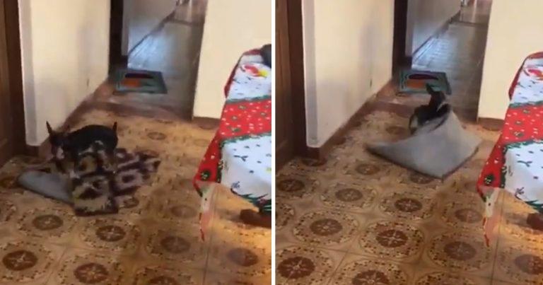 Dulce perrito siempre mueve alfombras para dar paso a la silla de ruedas de la abuela