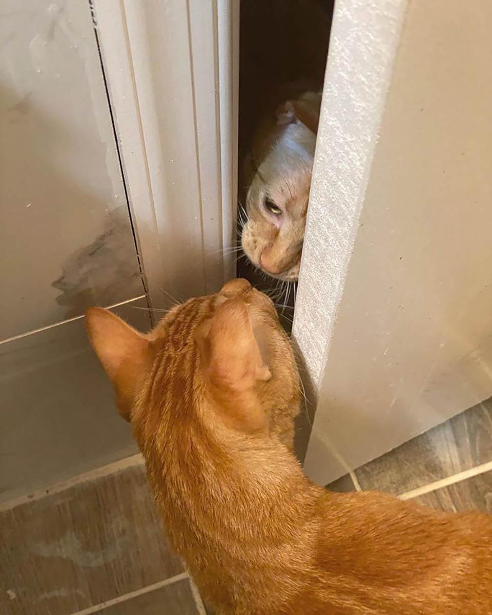 Gato aprende a abrir a porta