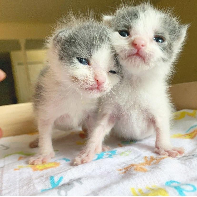 Hermanos gatitos gemelos