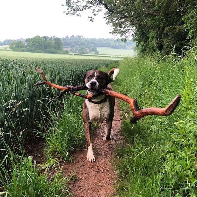 Perro con rama