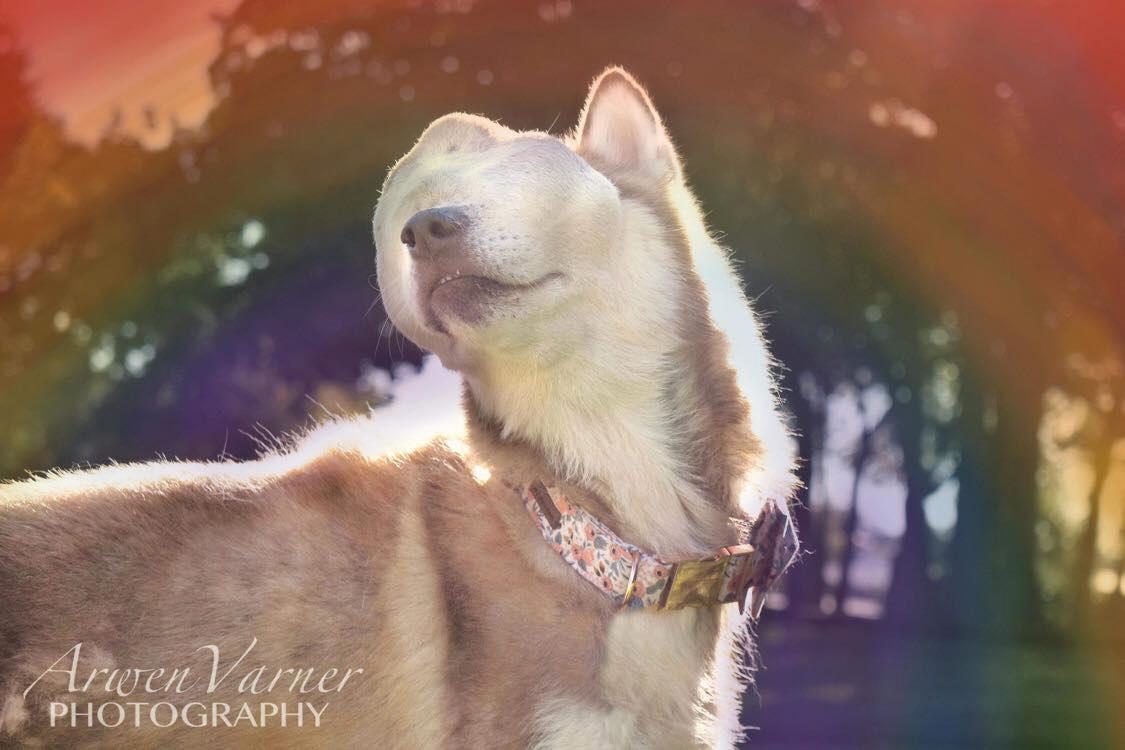 Encantadora husky con tumor facial