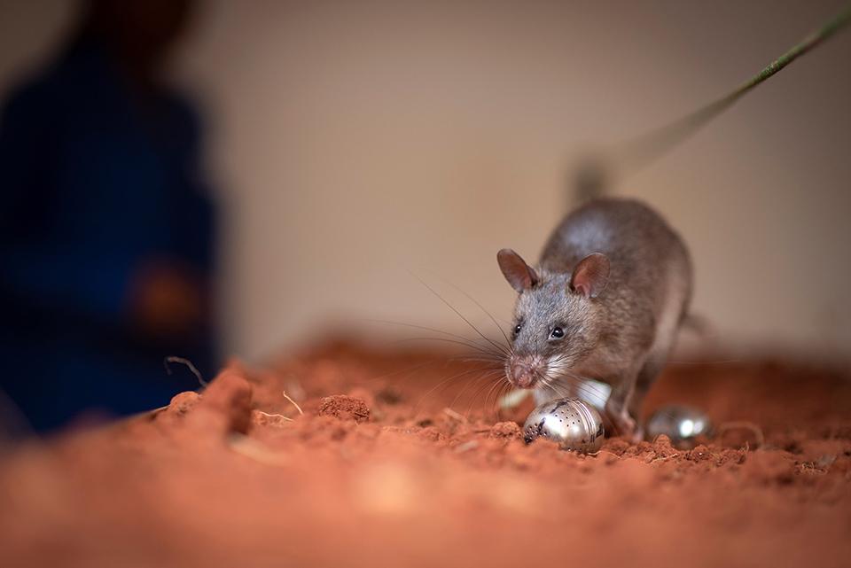 Treinamento de ratos