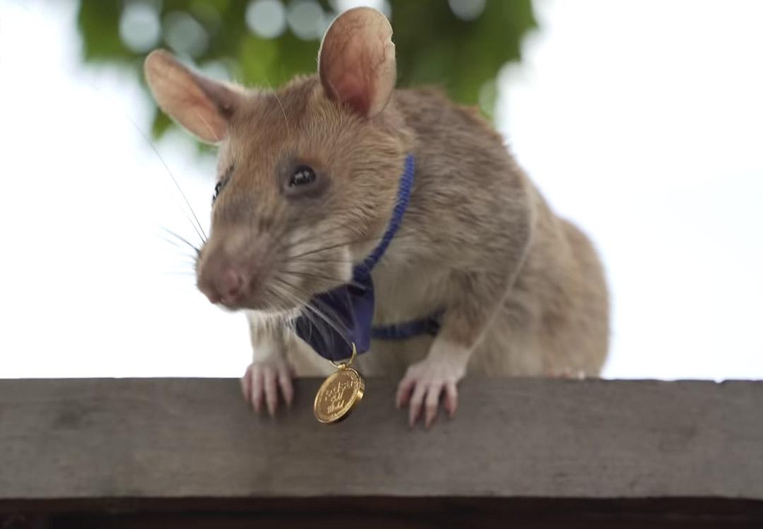 Rato gigante magawa