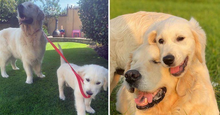 Perro ciego tiene su propio cachorro guía que lo ayuda a encontrar su camino en los paseos