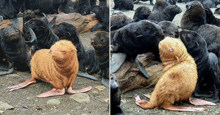 Rara foca podría tener que ser rescatada después de ser rechazada por su colonia