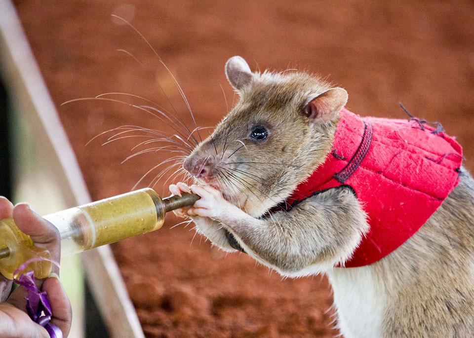 Rato treinado