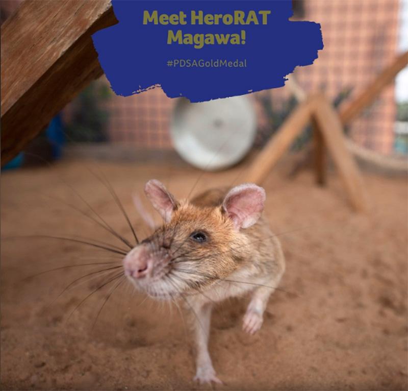Herói rato gigante