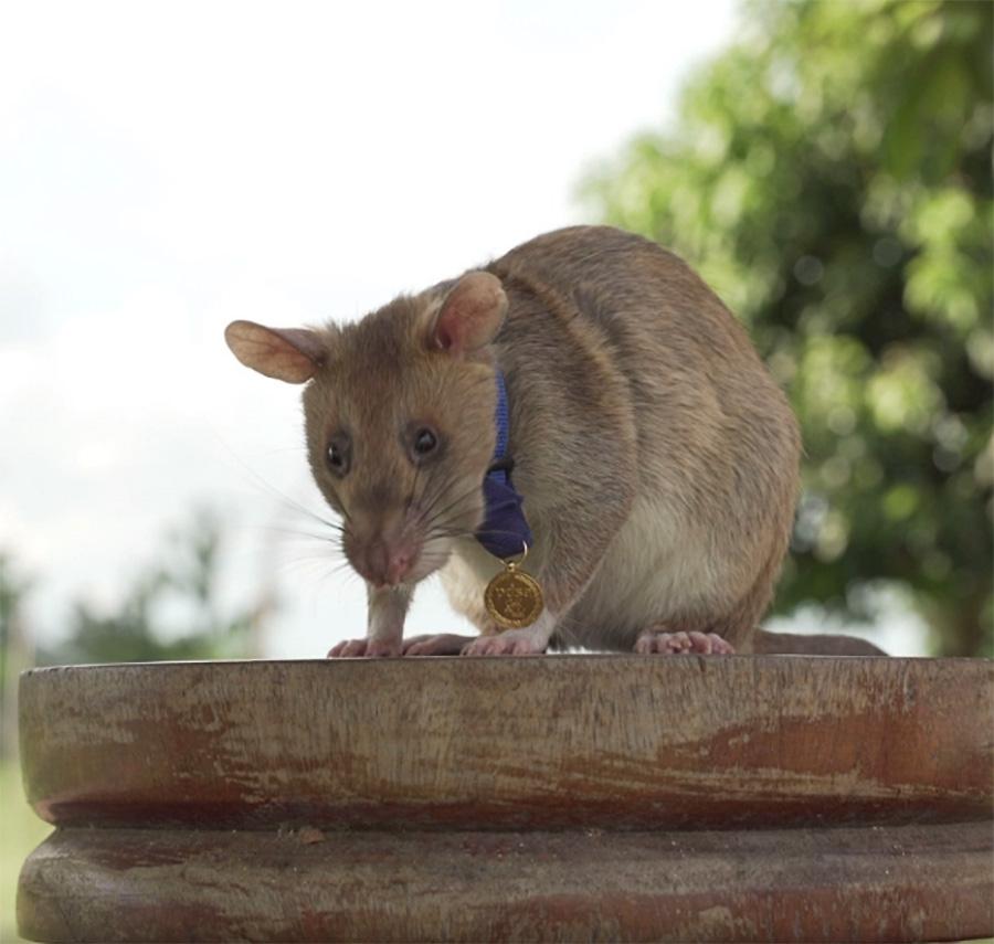 Rato gigante recebe medalha