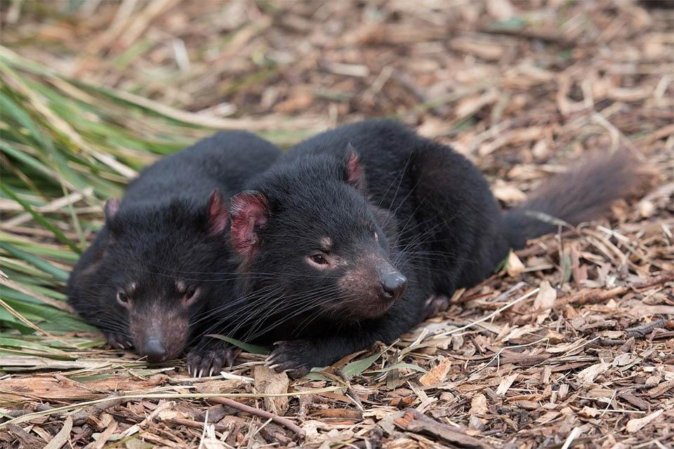 Demonios de Tasmania naturaleza