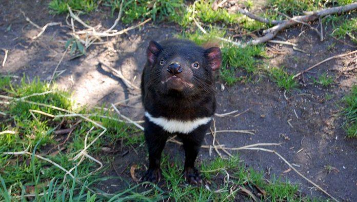 Demonios de Tasmania regresan naturaleza 3000 años