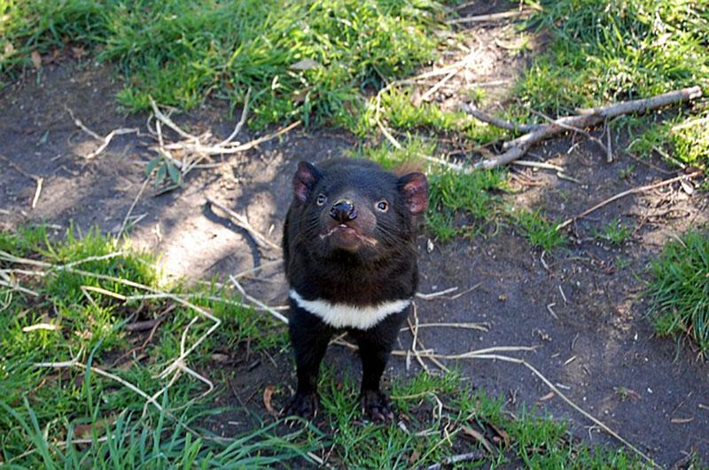 Marsupial regresa naturaleza