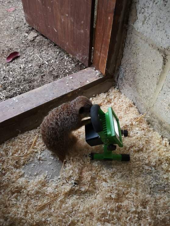 Adorables suricatos