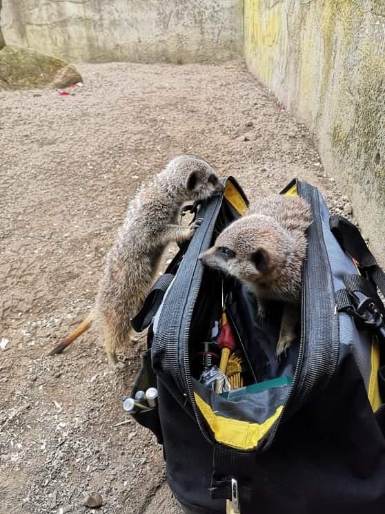 Lindos suricatos curiosos
