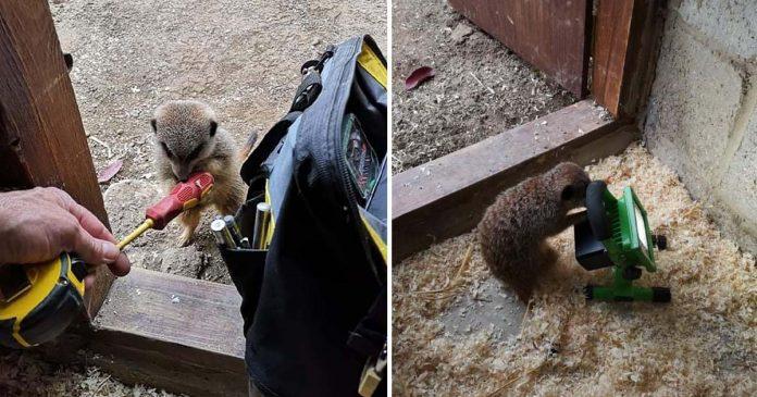 Lindos suricatos aparecen para ayudarle a electricista mientras trabaja