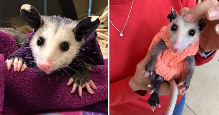 Las personas están tejiendo suéteres para esta zarigüeya sin pelo rescatada