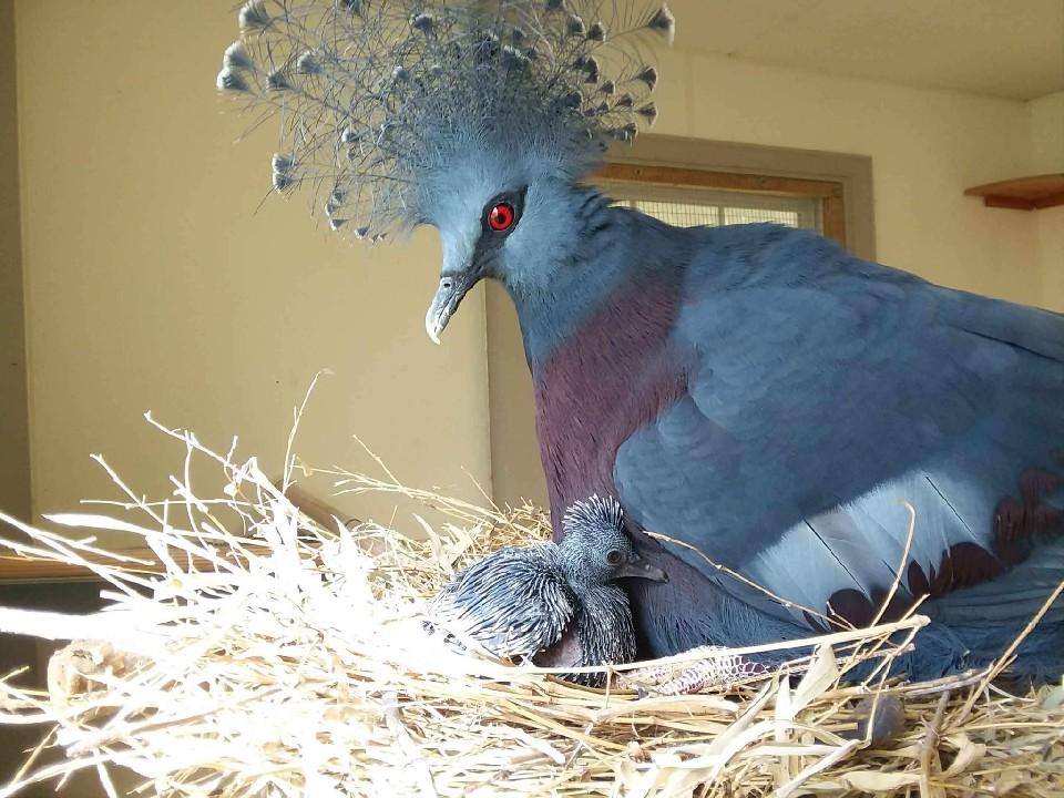 paloma mas grande del mundo