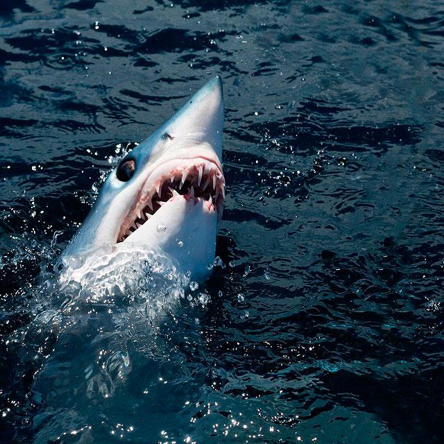 Tiburón mako saliendo del mar