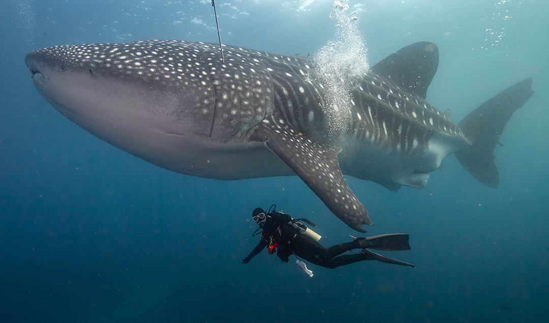 Tiburón ballena nadando junto a un buzo