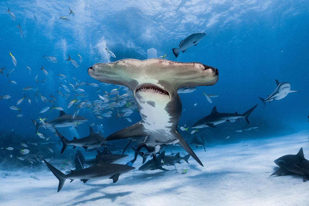Tiburón martillo nada junto a otros escualos