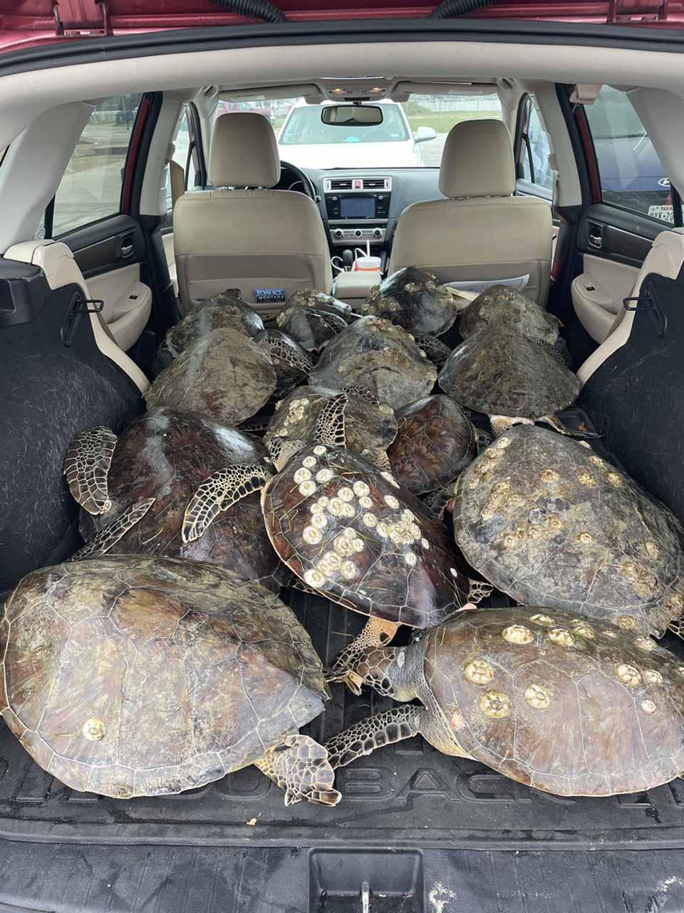 Auto con tortugas rescatas