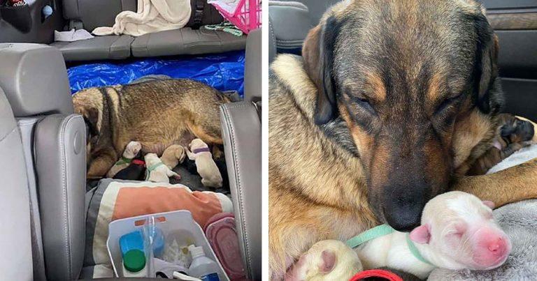 Familia de Texas pasa 12 horas en el auto para que su perrita pueda dar a luz en el calor
