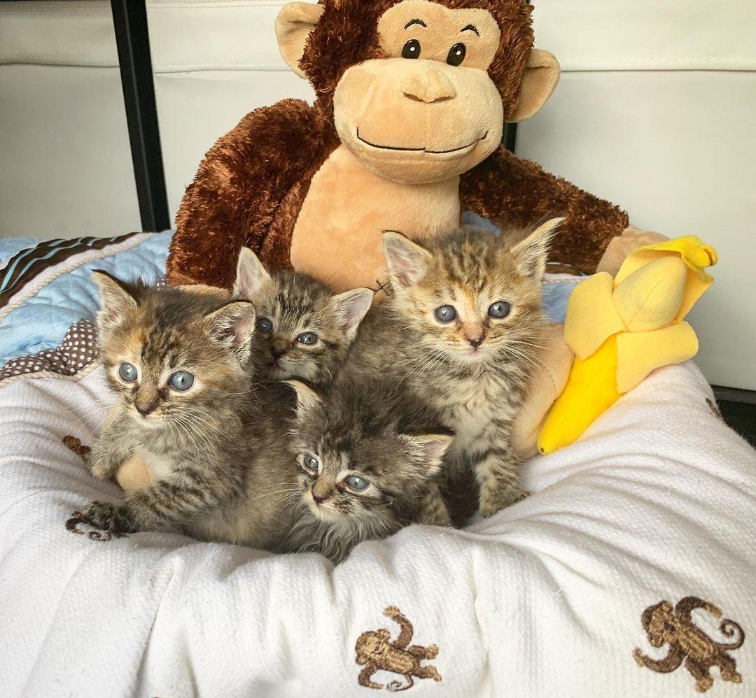 Gatitos rescatados se hicieron amigos de gatito