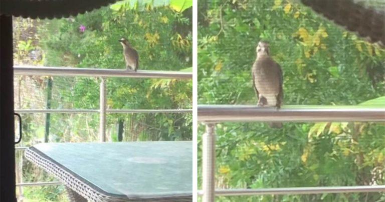 Pájaro aprende a maullar después de ver a una mujer dar comida a los gatos