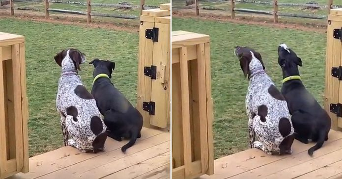 Pequeño pitbull aprende a aullar