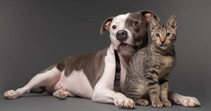 Pitbull afligido encuentra alegría con gatito