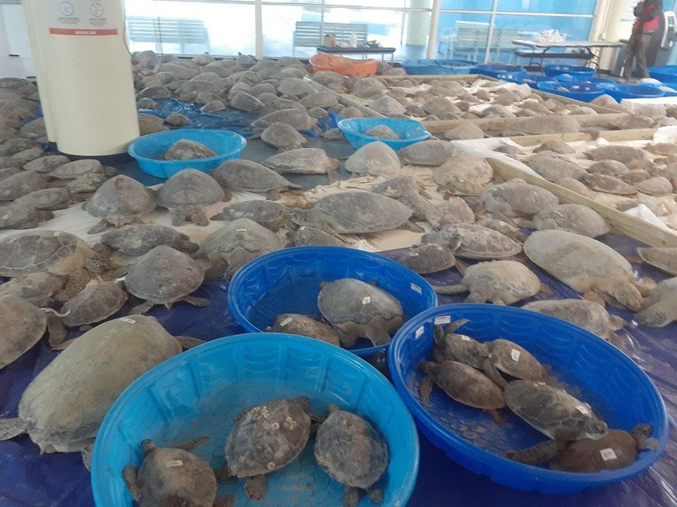 Tortugas marinas rescatadas