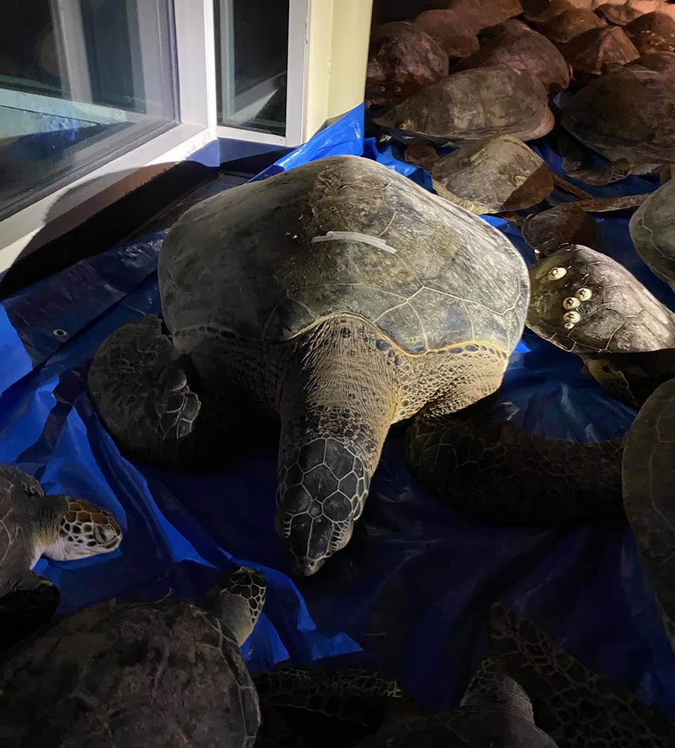 Tortugas rescatadas