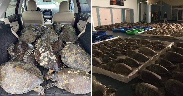 Voluntarios están salvando de tormenta a las tortugas