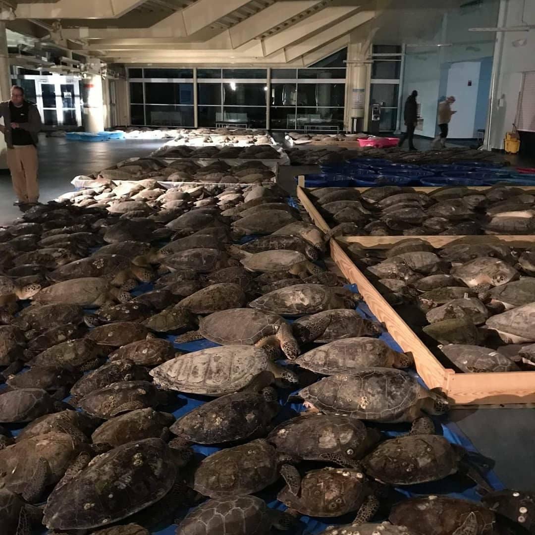 Voluntarios están salvando tortugas marinas