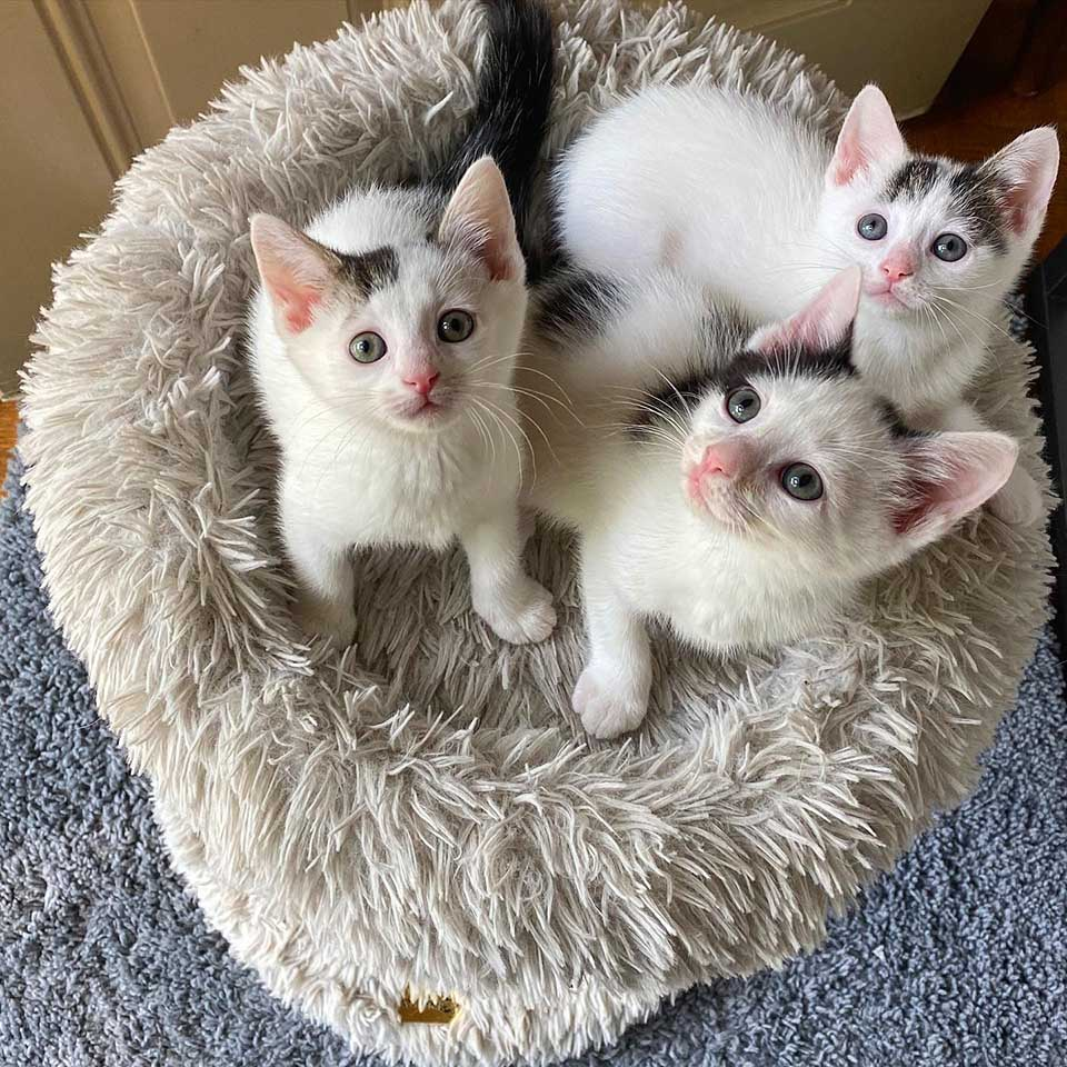 Adorables gatos vaquita